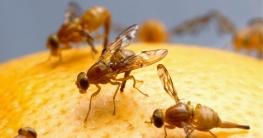 Obstfliegen loswerden & Fruchtfliegen beseitigen