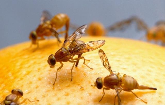 Fruchtfliegen Bekämpfen obstfliegen vertreiben und fruchtfliegen bekämpfen