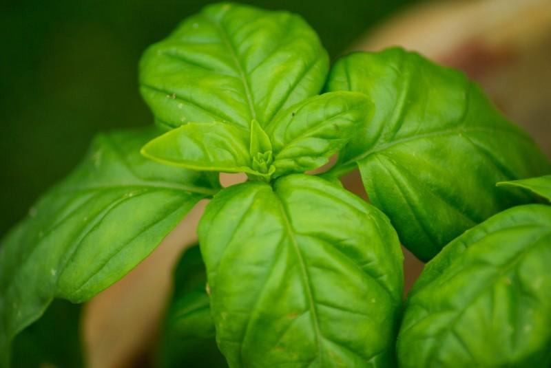 Gesundes Basilikum als Hausmittel